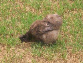 graychicken